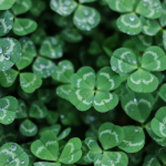 St. Patrick's Day Sayings: shamrocks and four-leaf clovers